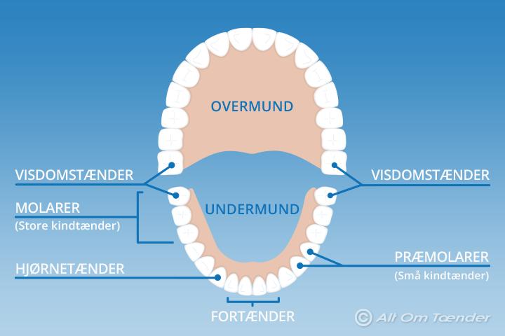 hvor mange tænder har et menneske