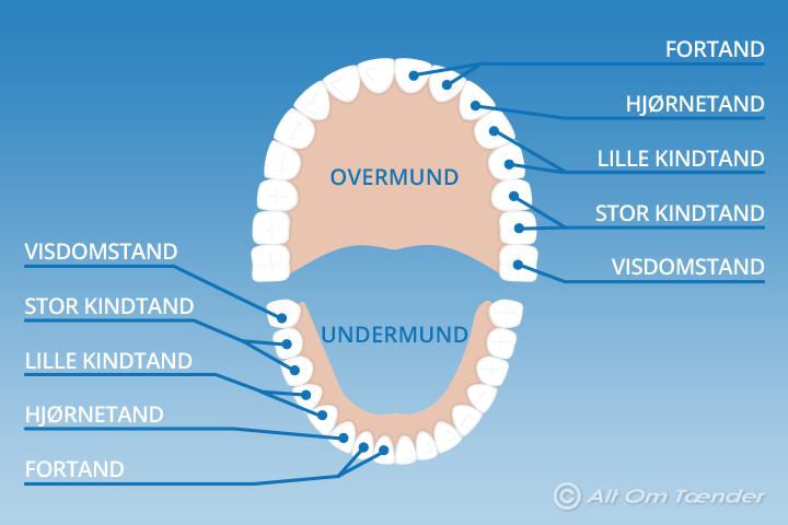 hvor mange tænder har man